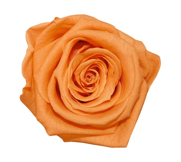 Orange Roses Meaning Single Orange Rose