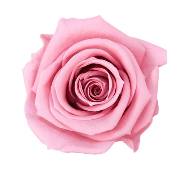 Pink Roses Meaning Single Pink Rose