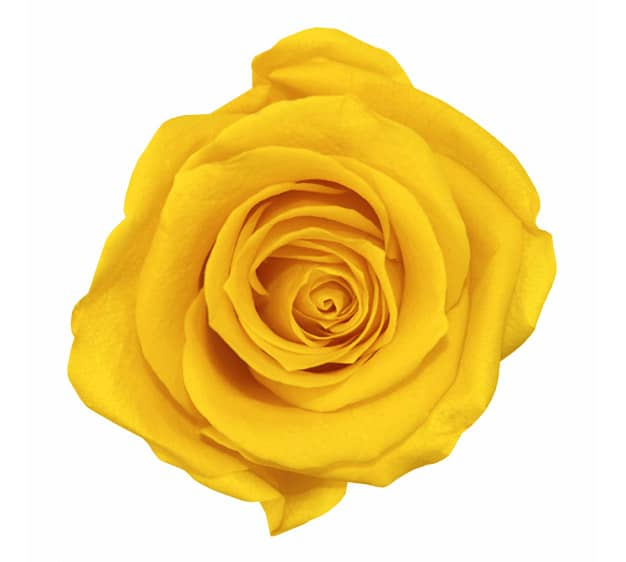 Yellow Roses Meaning Single Yellow Rose